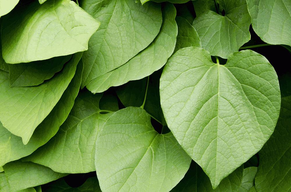Kava plant from Polynesia